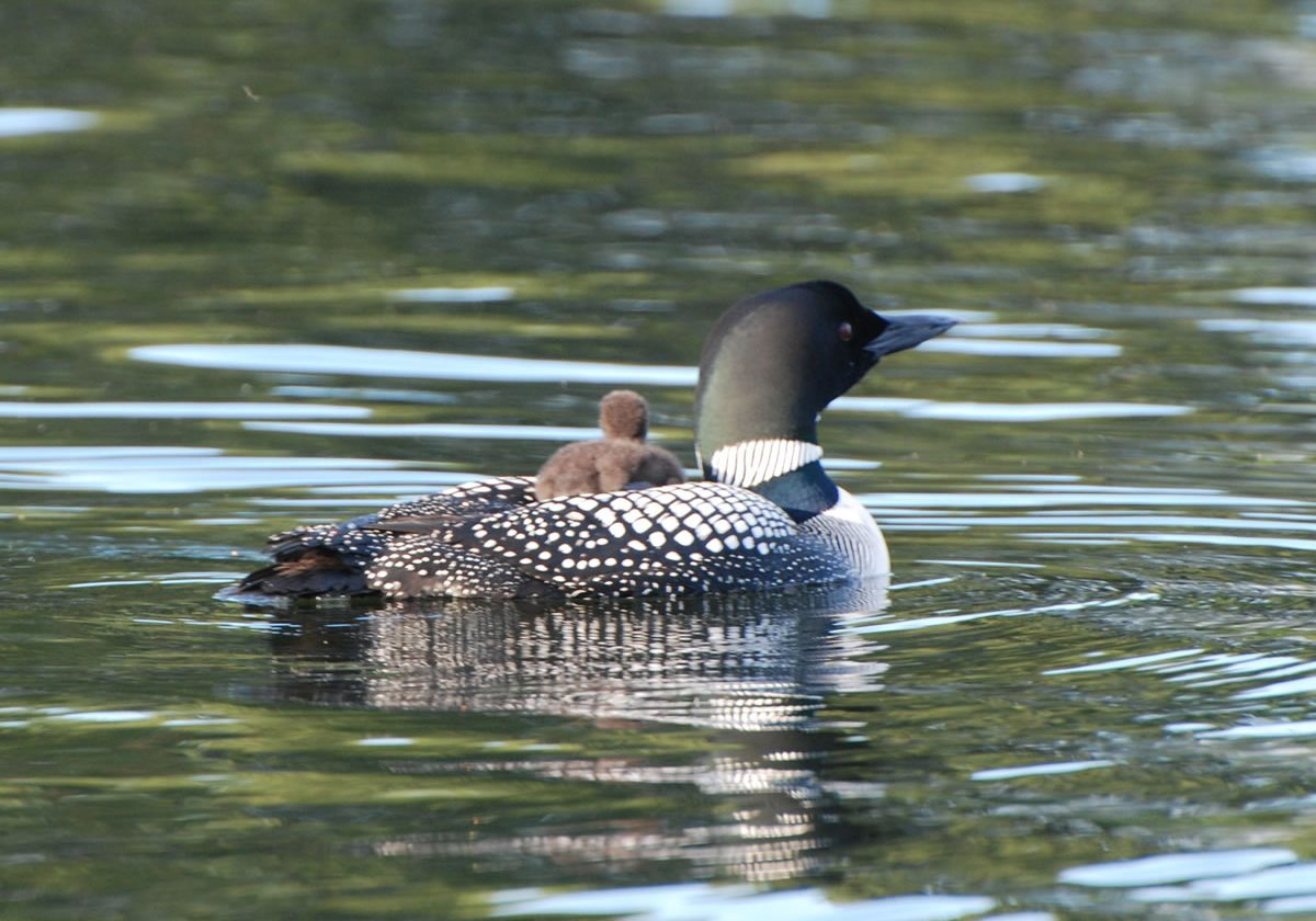Loons - 6